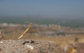 Картинка камень, богомол, насекомое