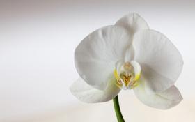 Картинка орхидея, цветок, белая, лепестки