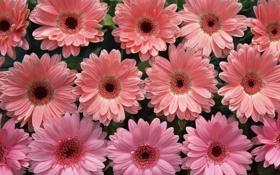 Обои цветы, нежные, розовые, Герберы