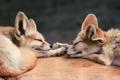 Картинка лисы, двое, спят, феник