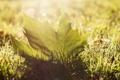 Картинка зелень, трава, солнце, макро, свет, природа, лист