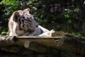Картинка морда, отдых, хищник, белый тигр, дикая кошка, зоопарк