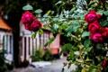 Картинка улица, куст, розы, красные
