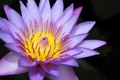 Картинка лотос, Nelumbo nucifera, цветок