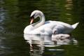 Картинка птицы, семья, пара, лебеди, птенец, лебеденок