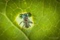 Картинка макро, зеленый, насекомое, лис, стркоза