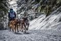 Картинка собаки, снег, гонка, спорт
