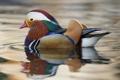 Картинка цвет, перья, клюв, утка, водоем, мандаринка