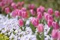 Картинка цветы, парк, весна, тюлпаны, другие