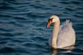 Картинка шея, белый, грация, вода, лебедь, волны