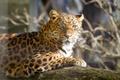 Картинка кошка, взгляд, солнце, леопард, бревно