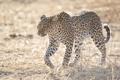 Картинка пятна, дикая кошка, свет, хищник, леопард