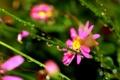 Картинка капельки, травинки, розовые цветочки