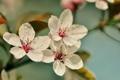 Картинка цветы, вишня, ветви, лепестки, цветение, flower, cherry blossom