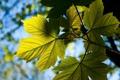 Картинка листья, солнце, лучи, свет, ветки, природа, клен