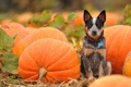 Картинка Pumpkin, Australian Cattle Dog, Puppy