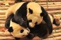 Картинка животные, медведи, панды, бамбуковые