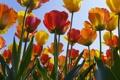 Картинка тюльпаны, обои, цветы