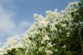 Картинка цветы, куст, белые, цветки, мелкие