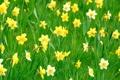 Картинка зелень, трава, цветы, нарциссы