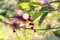 Картинка листья, ветки, черемуха