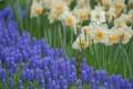 Картинка цветы, поляна, весна, голубые, нарциссы, мускари