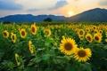 Картинка подсолнухи, солнце, холмы, природа, поле, цветы
