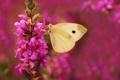 Картинка цветок, природа, нектар, бабочка, крылья, насекомое