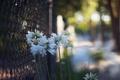 Картинка цветы, забор, ограда, лепестки, белые