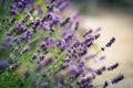 Картинка цветы, блики, размытость, лаванда, сиреневые, lavender