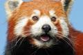 Картинка взгляд, морда, красная панда, firefox, малая панда