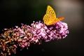 Картинка природа, насекомое, бабочка, мотылек, цветок