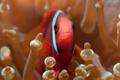 Картинка рыба, актинии, морские анемоны, Amphiprion frenatus