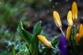 Картинка капли, цветы, крокусы