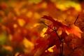 Картинка осень, листья, макро, природа, желтые, красные