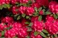 Картинка листья, цветы, цветение, цветки, азалия