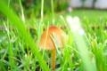 Картинка зелень, трава, листья, макро, природа, грибы, гриб