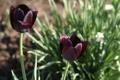 Картинка весна, май, тюльпаны