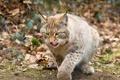 Картинка язык, рысь, кошка