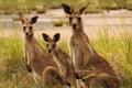 Картинка трава, кенгуру, трое, семейство