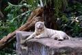 Картинка кошка, отдых, листва, камень, коряга, белый тигр
