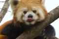 Картинка язык, морда, ветка, красная панда, firefox, малая панда