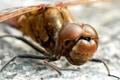 Картинка насекомое, стрекоза, лапки, глаза, голова