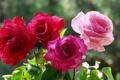 Картинка макро, роза, куст, лепестки, сад