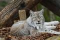 Картинка кисточки, дикая кошка, уши, зоопарк, рысь, морда, отдых