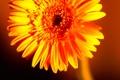 Картинка цветок, оранжевая, лепестки, гербера