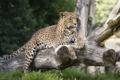 Картинка морда, отдых, хищник, лапы, леопард, лежит, бревно