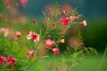 Картинка цветы, куст, розовокррасные