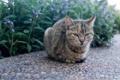 Картинка кошка, взгляд, цветы, сидит, клумба, полосатая
