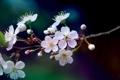 Картинка цвета, макро, цветы, вишня, ветка, весна, лепестки
